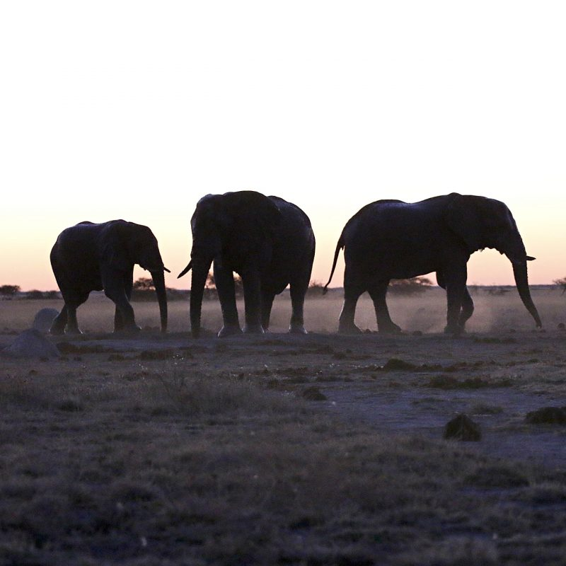 Gigantes del Kalahari