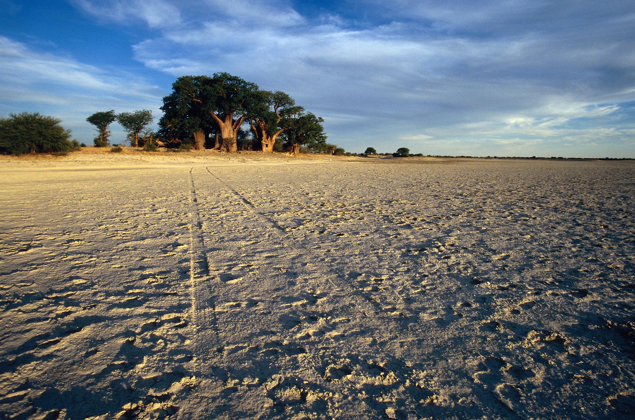 Baobabs, tesoros vivos