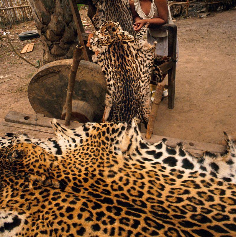 Grandes felinos y tráfico de especies en el Amazonía