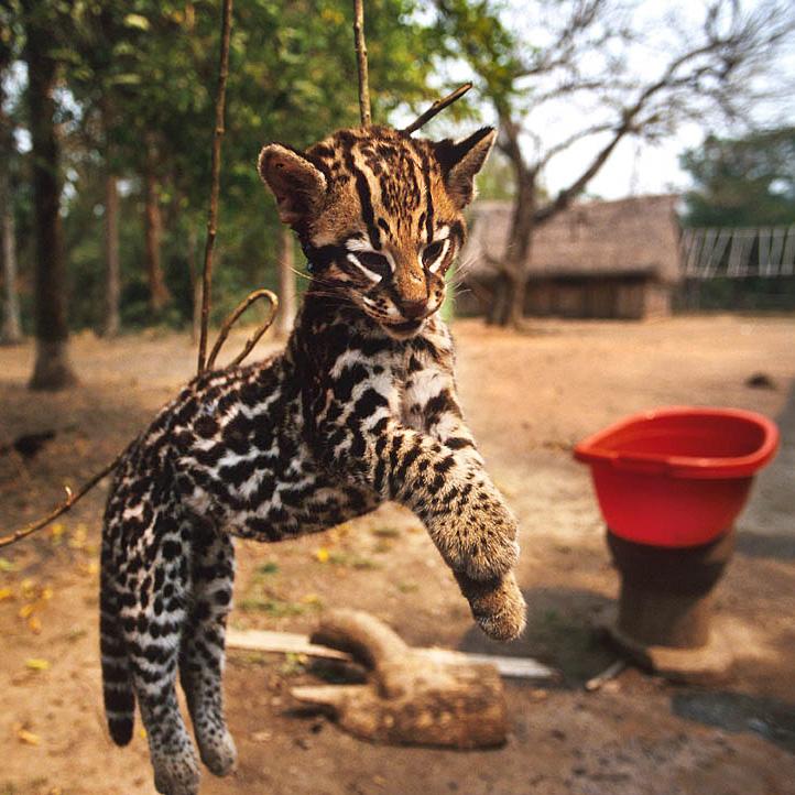 Furtivismo y felinos